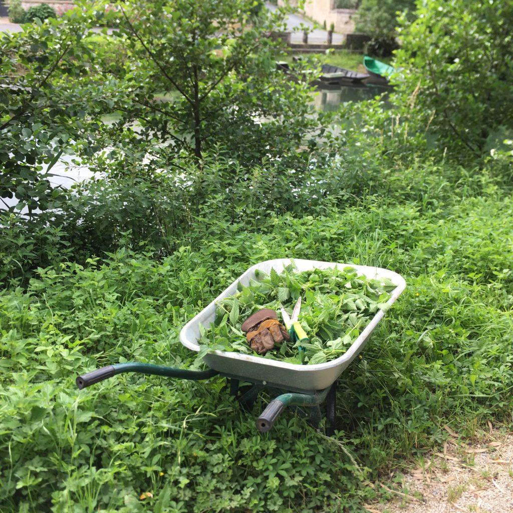Purin d'ortie : tout commence par la cueillette.
