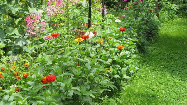 Zinnias en bordure d'un massif fleuri.