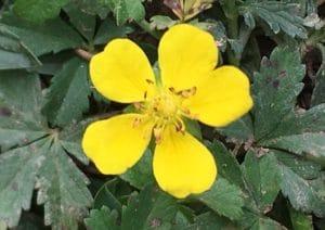 Fleur de Potentille rampante.
