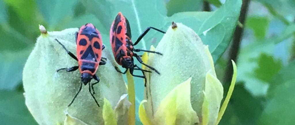 Les fruits de l'ibiscus : les gendarmes adorent / Un jardin dans le Marais Poitevin.