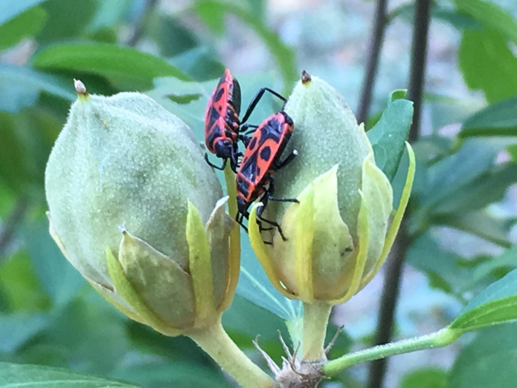 Gendarmes sur les fruits de l'ibiscus / Un jardin dans le Marais poitevin.