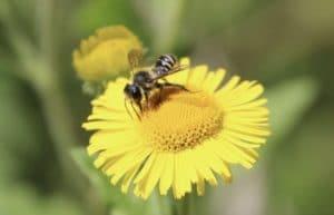 Pulicaire dysentérique et abeille Mégachile sp.