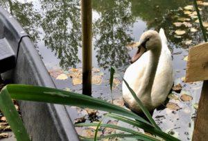 Cygne sauvage dans le Marais poitevin.