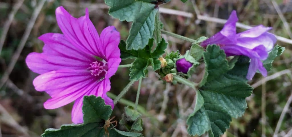 Mauve sylvestre / Un jardin dans le Marais poitevin.