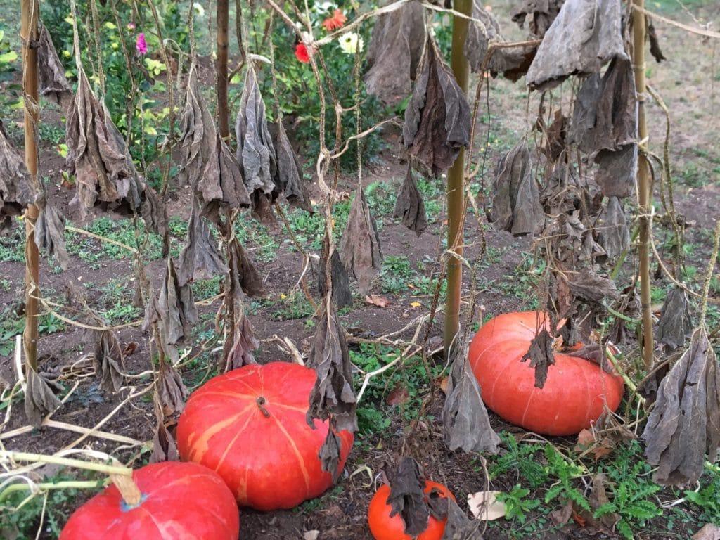 Comme autant de vampires qui attendent la nuit d'Halloween pour se réveiller / Un jardin dans le Marais poitevin.