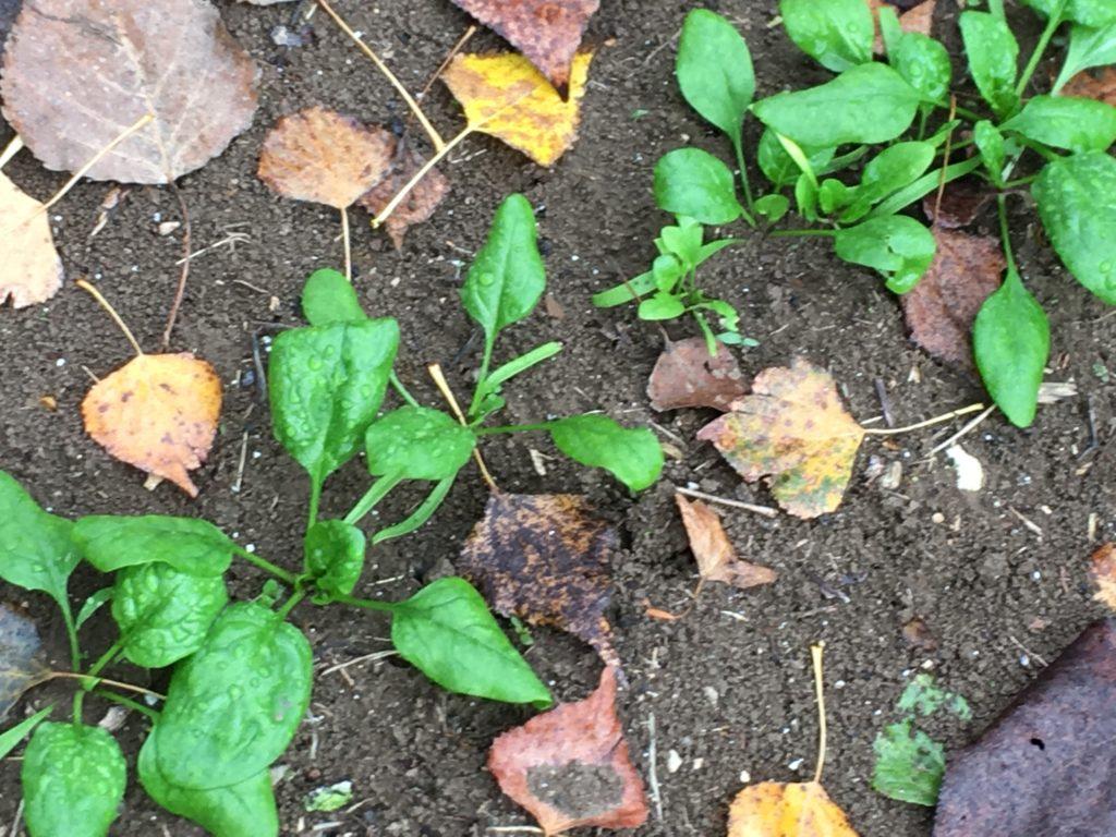 Jeunes pousses d'épinard / Un jardin dans le Marais poitevin.
