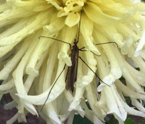 La Tipule. Ici une femelle, reconnaissable à l'extrémité en pointe de son abdomen / Un jardin dans le Marais poitevin.