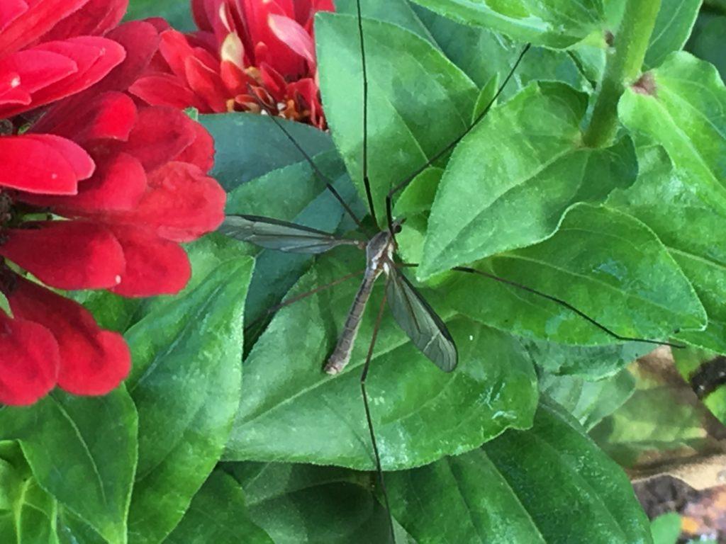 La Tipule. Ici un mâle, reconnaissable à l'extrémité large et carrée de son abdomen / Un jardin dans le Marais poitevin.