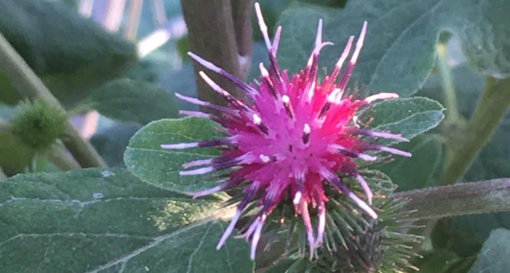La Bardane : légume oublié et jolie fleur pourpre / Un jardin dans le Marais poitevin.