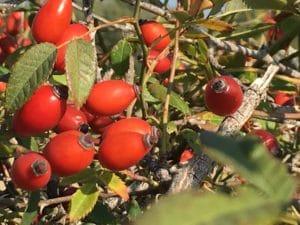 """Baies et épines des haies du halage :les """"gratte-cul"""" de l'églantier / Un jardin dans le Marais poitevin."""