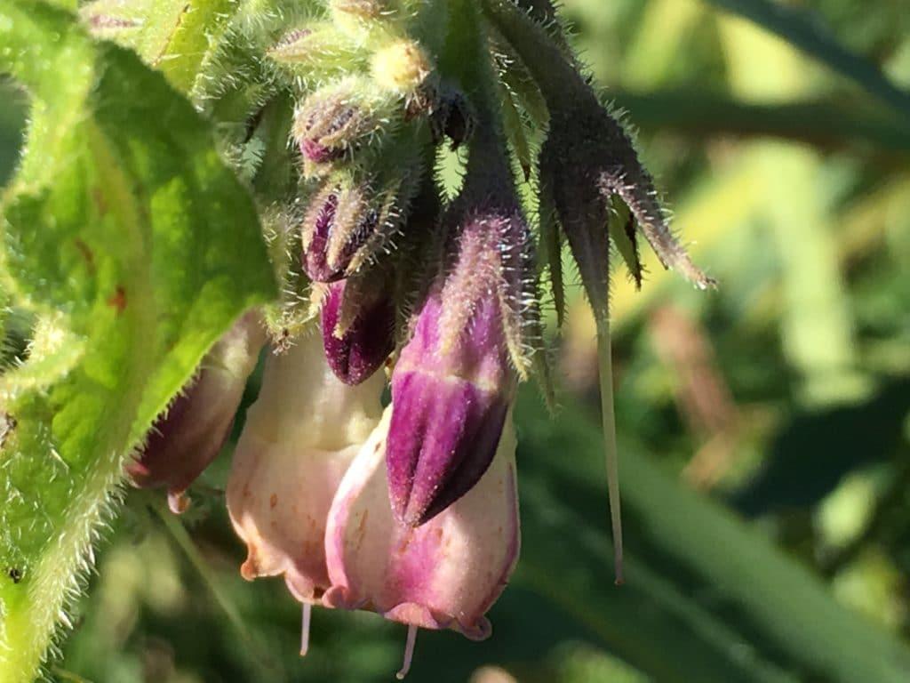 Fleur de Consoude, jaune pâle parfois nuancé de taches violacées / Un jardin dans le Marais poitevin.