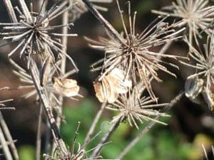 La multitude de graines de la Berce est maintenant dispersée / Un jardin dans le Marais poitevin.
