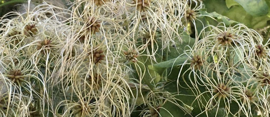 Les fruits exubérants de la Clématite sauvage s'apprêtent à exploser en boules duveteuses / Un jardin dans le Marais poitevin.