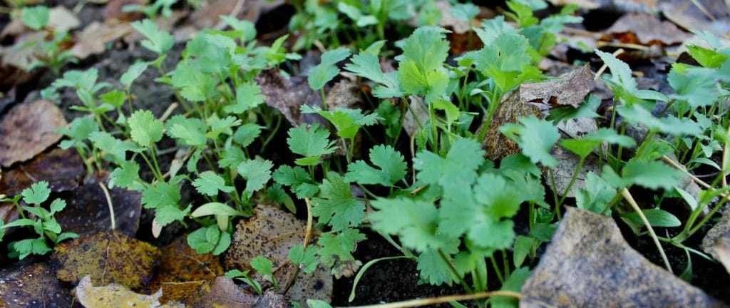 Coriandre : repousse d'automne / Un jardin dans le Marais poitevin.