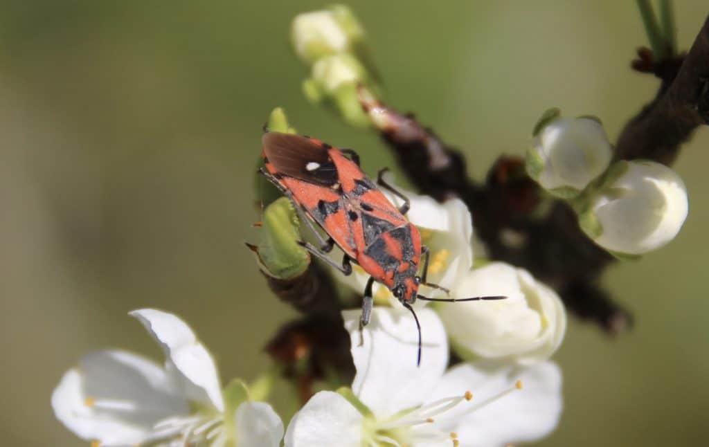 La Viole rouge (Spilostethus pandurus)