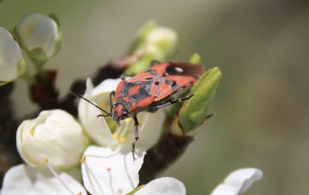 La Viole rouge (Spilostethus pandurus).