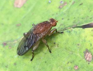 Mouche de la truffe, de longues soies noires dressées sur la bosse de son dos roussâtre / Une jardin dans le Marais poitevin.