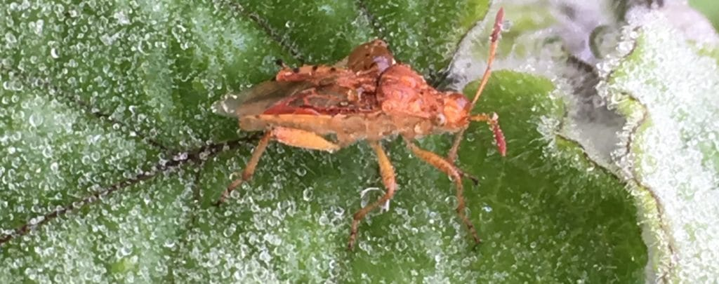 La Punaise rhopalus : de longues antennes en forme de massue / Un jardin dans le Marais poitevin.