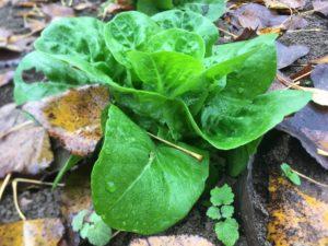 La sucrine : des feuilles charnues d'un joli vert tendre bien soutenu / Un jardin dans le Marais poitevin.