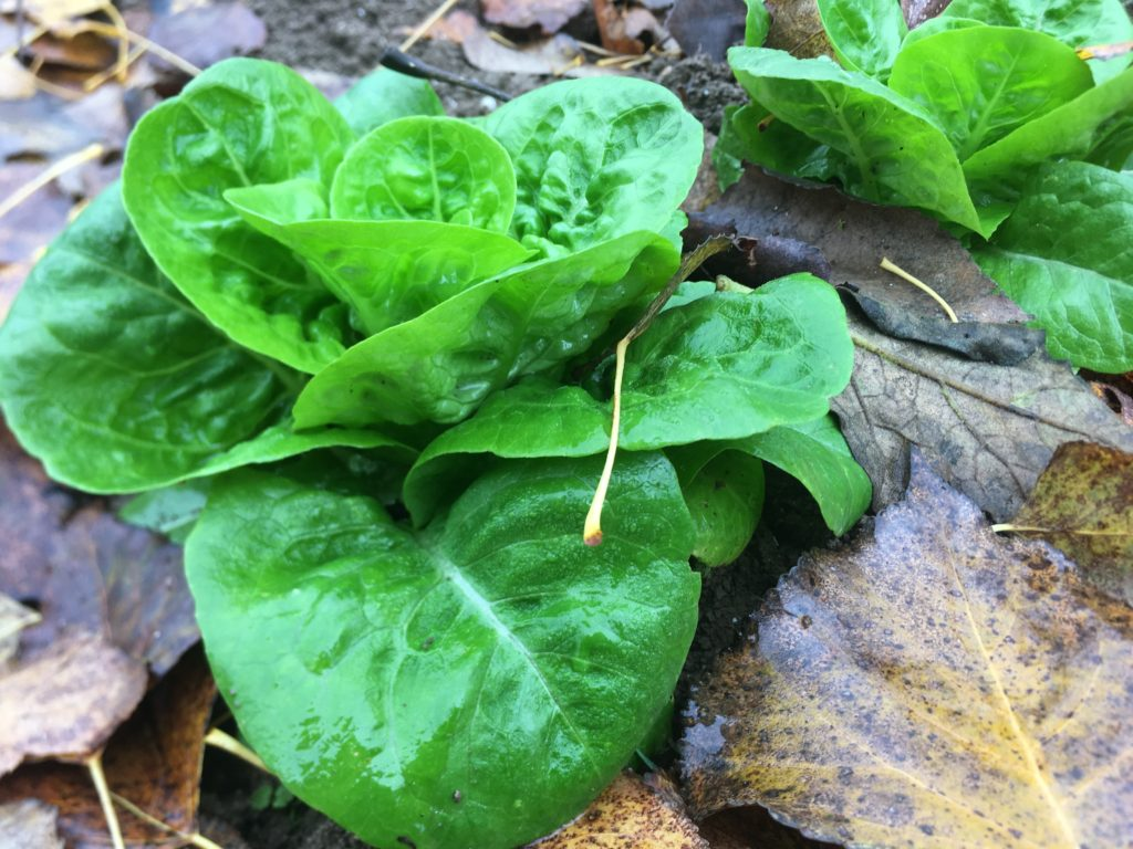 La sucrine : un petit coeur craquant et sucré / Un jardin dans le Marais poitevin.