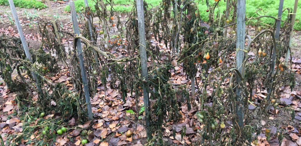 Les premières gelées ont brusquement tourné la page des tomates / Un jardin dans le Marais poitevin.