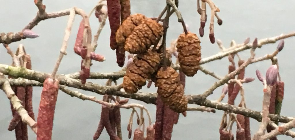Les chatons femelles fécondés au printemps dernier ne libéreront leurs graines qu'à la prochaine belle saison / Un jardin dans le Marais poitevin.