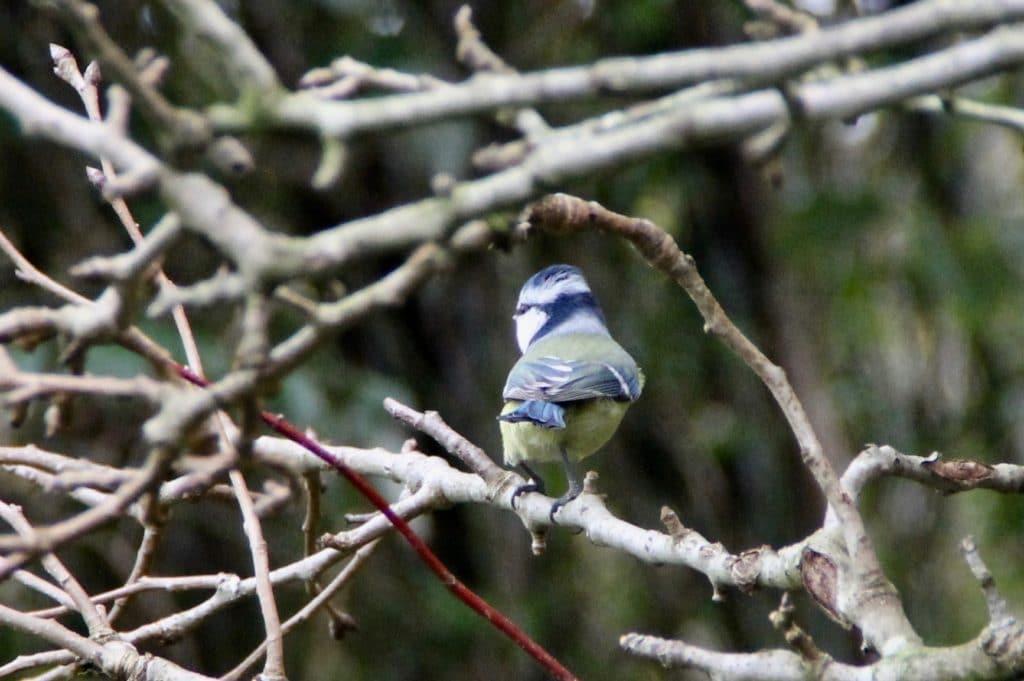 Mésange bleue / Un jardin dans le Marais poitevin.