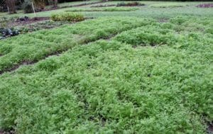 Phacélie / Un jardin dans le Marais poitevin.