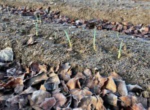 Plates-bandes d'ail / Un jardin dans le Marais poitevin.