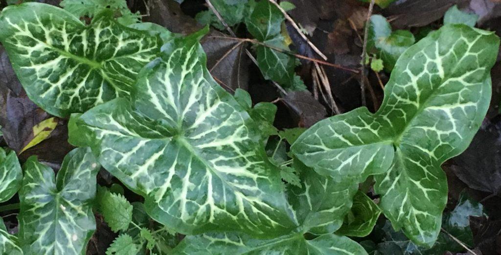 Arum sauvage / Un jardin dans le Marais poitevin.