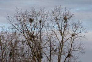 A la cime des peupliers, voisinant ici un nid de frelons asiatiques / Un jardin dans le Marais poitevin.