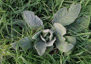 Molène bouillon blanc, rosette hivernale / Un jardin dans le Marais poitevin.