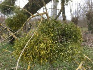 Gui sur peuplier, pied mâle et pied femelle / Un jardin dans le Marais poitevin.
