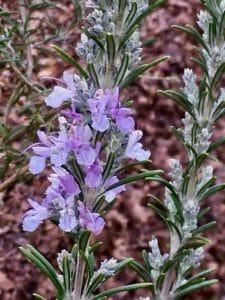 Romarin en fleurs / Un jardin dans le Marais poitevin.