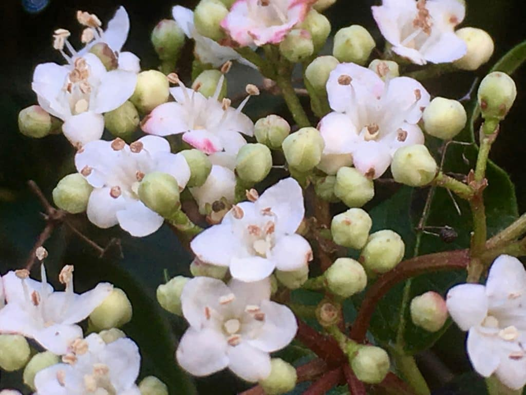 Floraison du Laurier tin . Un jardin dans le Marais poitevin.
