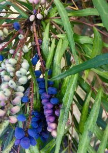 Baies du Mahonia, attaque de cochenille sur les feuilles / Un jardin dans le Marais poitevin.
