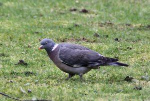 Pigeon ramier / Un jardin dans le Marais poitevin.