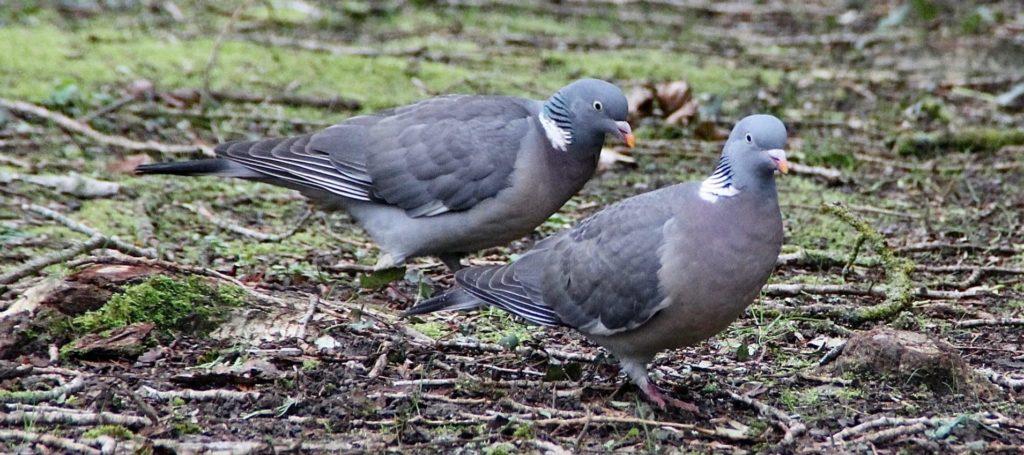 Pigeons ramiers / Un jardin dans le Marais poitevin.