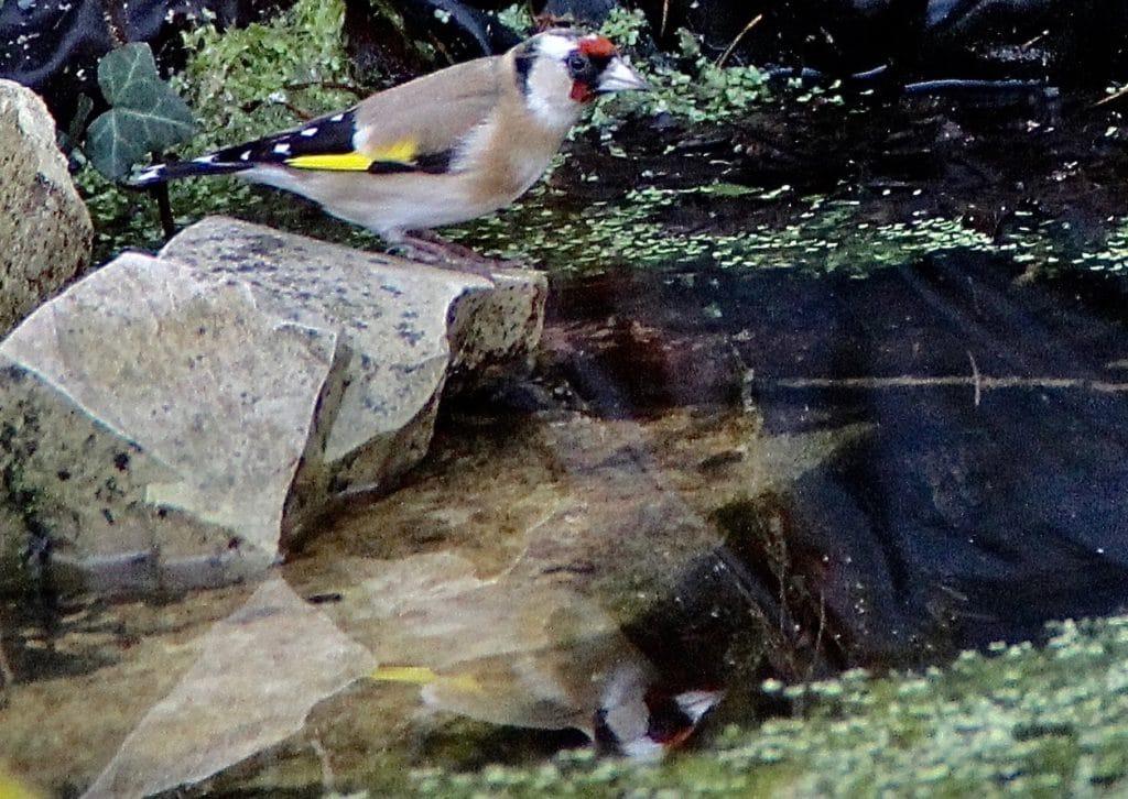 Abreuvoir des oiseaux, chardonneret / Un jardin dans le Marais poitevin.