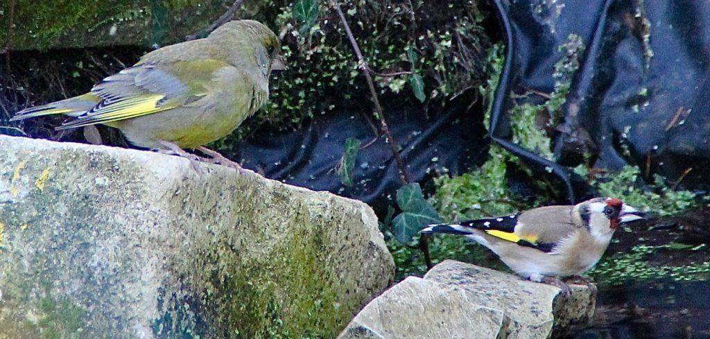Abreuvoir des oiseaux, verdier et chardonneret / Un jardin dans le Marais poitevin.