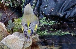 Abreuvoir des oiseaux, verdier / Un jardin dans le Marais poitevin.