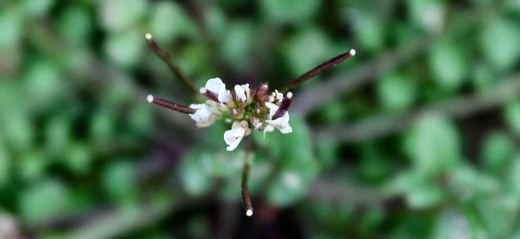 Cressonnette, Cardamine hérissée, émergence des premières siliques / Un jardin dans le Marais poitevin.