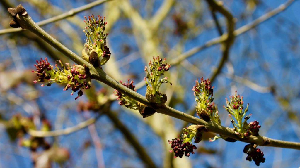 Frêne en fleurs / Un jardin dans le Marais poitevin.