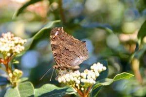 Paon du jour, ailes reliées / Un jardin dans le Marais poitevin.