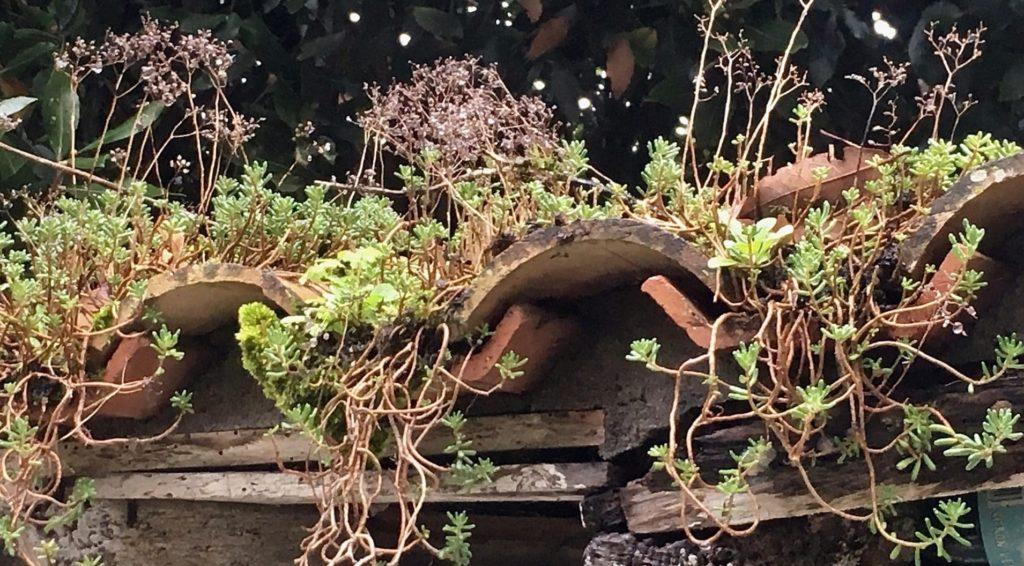 Orpin blanc / Un jardin dans le Marais poitevin.