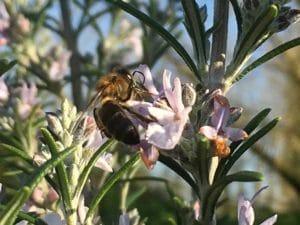 Premières abeilles de février / Un jardin dans le Marais poitevin.