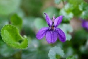 Violette / Un jardin dans le Marais poitevin.