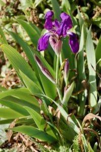 Iris / Un jardin dans le Marais poitevin.