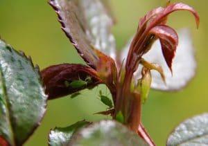 Installation d'une colonie de pucerons sur jeune pousse de rosier / Un jardin dans le Marais poitevin.