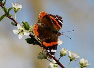 Vulcain, bandes rougeoyantes sur fond brun velouté / Un jardin dans le Marais poitevin.